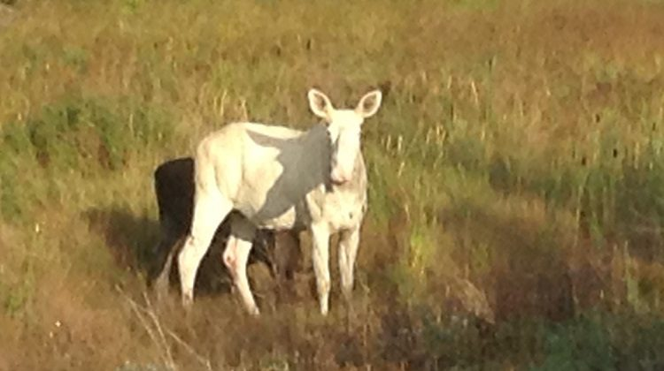 Rare Secret White 'Spirit Moose' Is Killed By Hunters